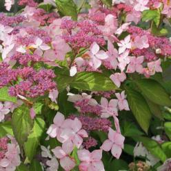 Hydrangea serrata 'Grayswood' - Hortensia