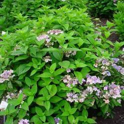Hydrangea serrata 'Impératrice Eugénie' - Hortensia