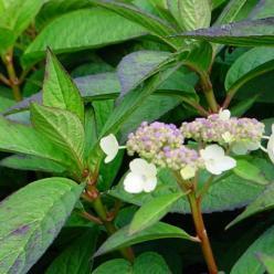 Hydrangea serrata 'Intermedia' - Hortensia