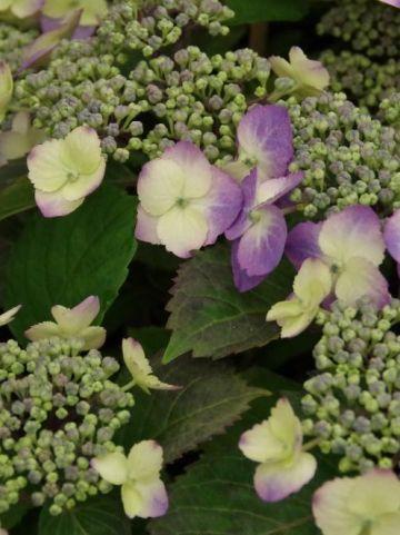Hydrangea serrata 'Flair&Flavours' (='Mak20') - Hortensia