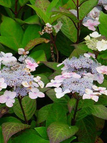 Hydrangea serrata 'Ramis Pictus' - Hortensia