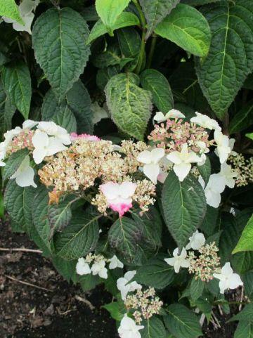 Hydrangea serrata 'Rosalba' - Hortensia