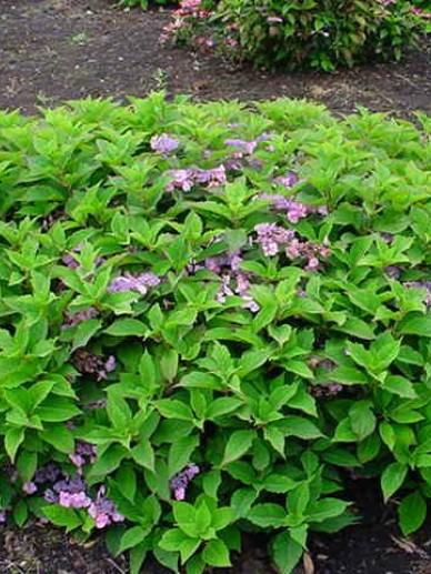 Hydrangea serrata 'Spreading Beauty' - Hortensia