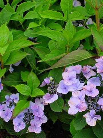 Hydrangea serrata 'Spreading Beauty' - Hortensia