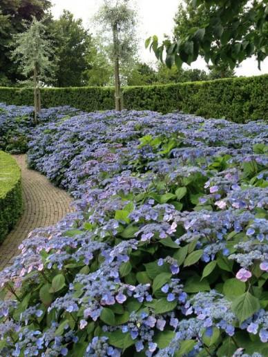 Hydrangea serrata 'Veerle' - Hortensia
