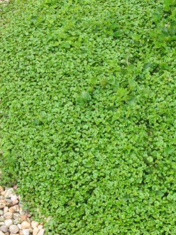 Hydrocotyle novae-zelandiae  - Waternavel