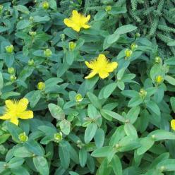 Hypericum calycinum - Hertshooi