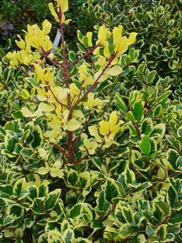 Ilex × altaclerensis 'Golden King' - Grootbladige hulst