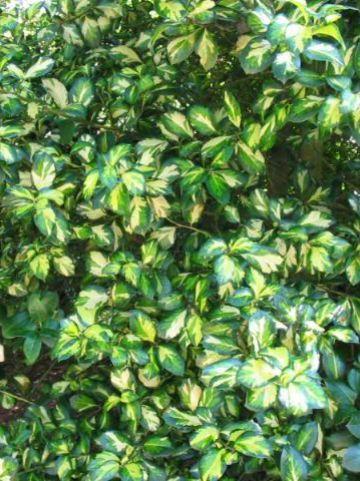 Ilex × altaclerensis 'Lawsoniana' - Grootbladige bonte hulst