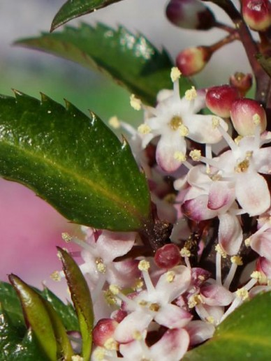 Ilex × meserveae 'Gentle' (='Annys Dwarf') - Amerikaanse hulst