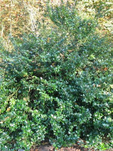 Ilex × meserveae 'Blue Prince' - Amerikaanse hulst