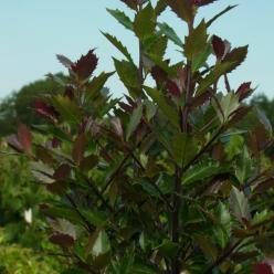 Ilex × meserveae 'Heckenblau' (='Hach 1') - Amerikaanse hulst