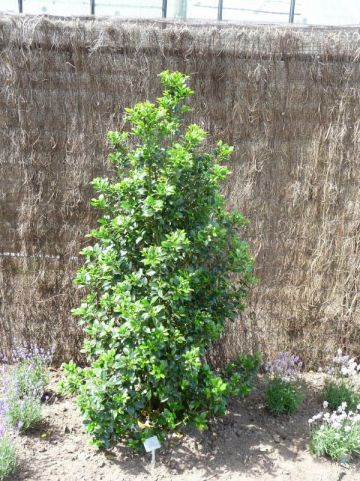 Ilex × meserveae 'Heckenfee' (='Hachfee') - Amerikaanse hulst