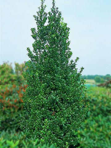 Ilex × meserveae 'Hecken Star' - Amerikaanse hulst