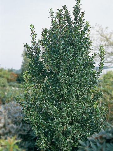 Ilex × meserveae 'Heckenpracht' - Amerikaanse hulst