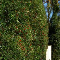 Ilex aquifolium  - Gewone hulst