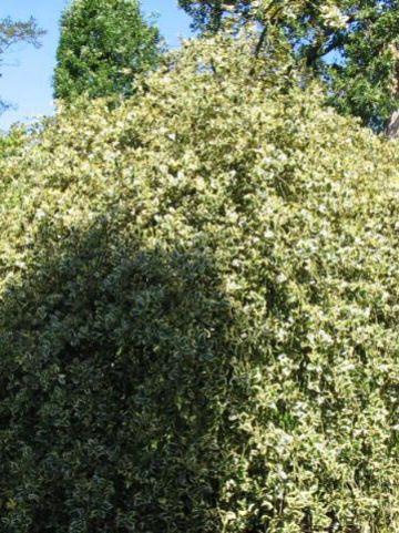 Ilex aquifolium 'Argentea Marginata Pendula' - Treurende bonte hulst