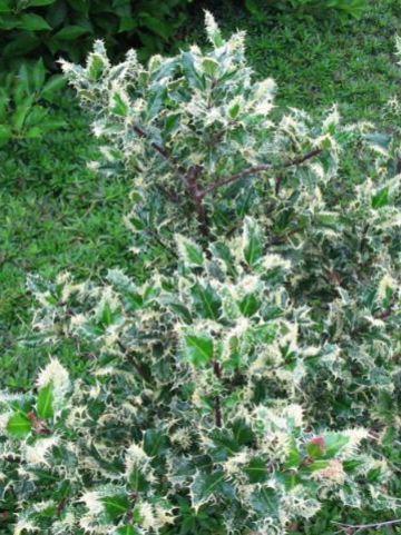 Ilex aquifolium 'Ferox Argentea' - Bonte egelhulst