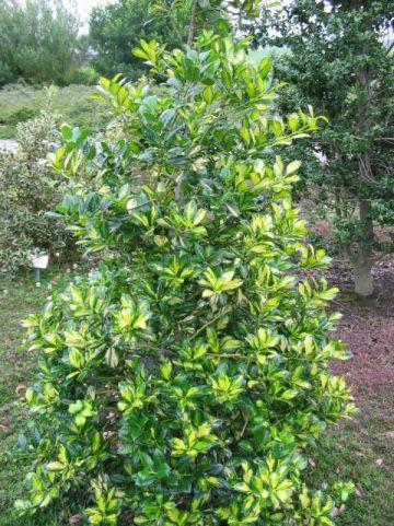Ilex aquifolium 'Gold Flash' - Bonte hulst