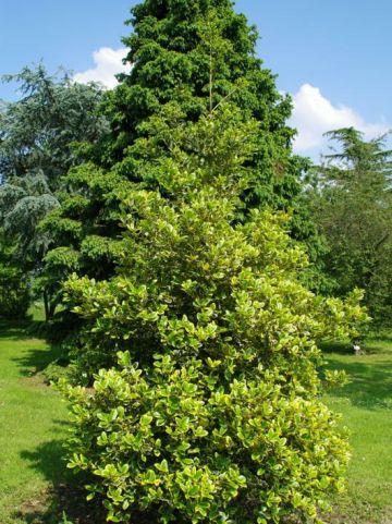 Ilex aquifolium 'Golden van Tol' - Bonte hulst