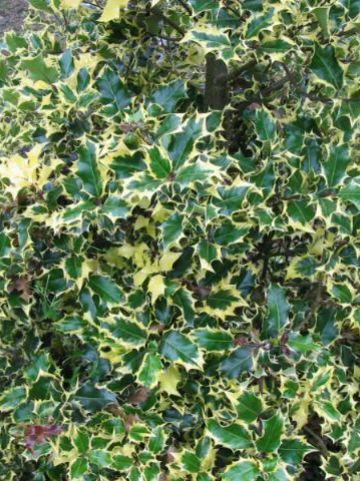 Ilex aquifolium 'Madame Briot' - Bonte hulst