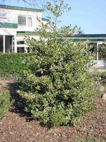 Ilex aquifolium 'Pyramidalis Aureomarginata' - Bontbladige beshulst