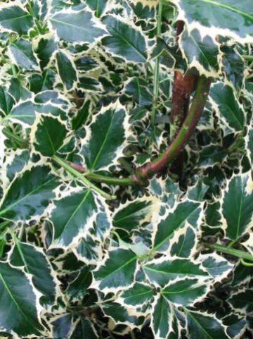 Ilex aquifolium 'Silver Queen' - Witbonte hulst