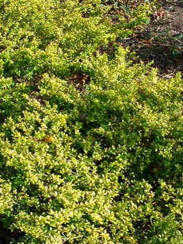 Ilex crenata 'Golden Gem' - Chinese hulst