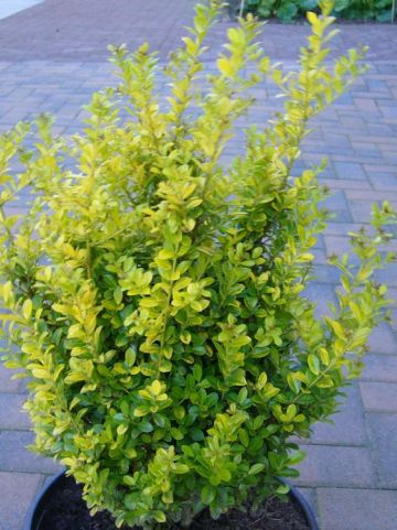 Ilex crenata 'Golden Rock' - Chinese hulst
