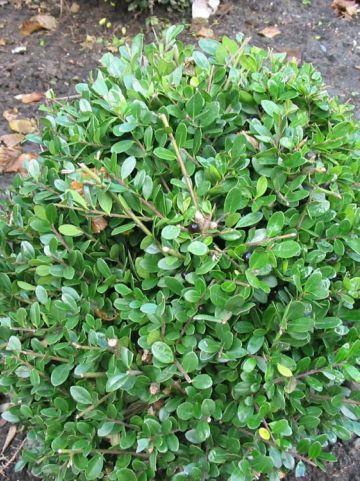 Ilex crenata 'Dark Green' (='Icoprins11') - Chinese hulst