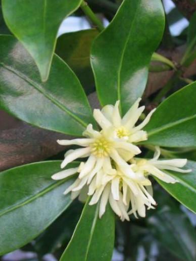 Illicium anisatum  - Chinese anijsboom