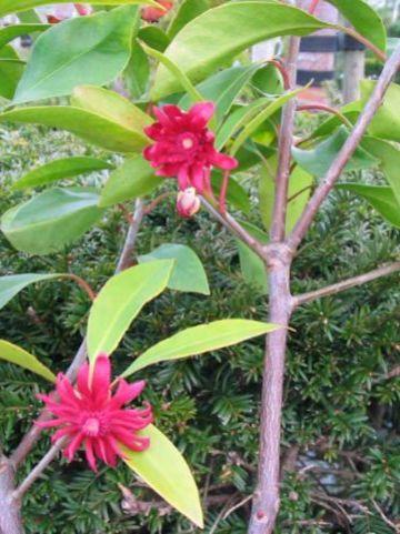 Illicium floridanum  - Anijsboom