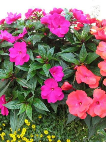 Impatiens New Guinea Group  - Vlijtige lies