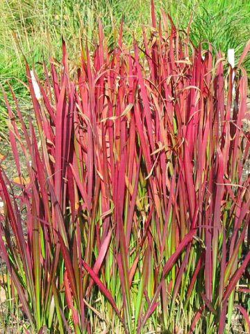 Imperata cylindrica 'Red Baron' - Japans bloedgras