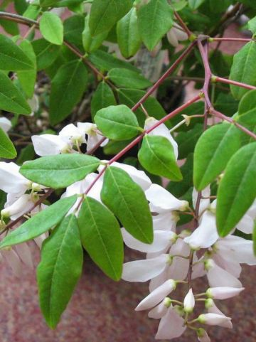 Indigofera decora f. alba  - Witte indigostruik