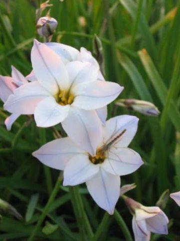 Ipheion uniflorum - Oude wijfjes, voorjaarster
