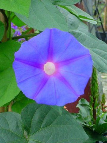 Ipomoea purpurea  -