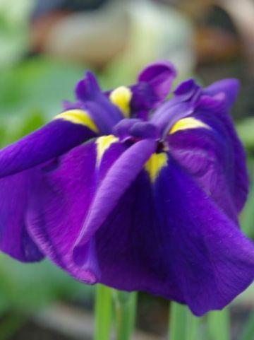 Iris ensata  - Japanse iris