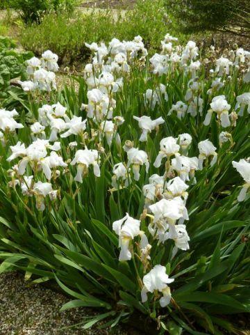 Iris  'Florentina' - Florentijnse lis