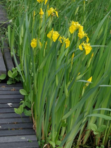 Iris pseudacorus - Gele lis