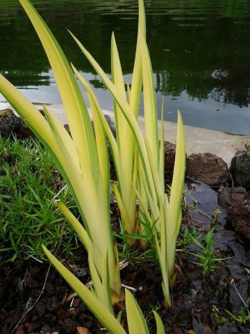 Iris pseudacorus 'Variegata' - Bonte gele lis