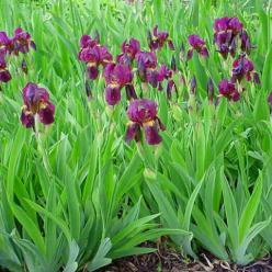 Iris  'Red Orchid' - Baariris