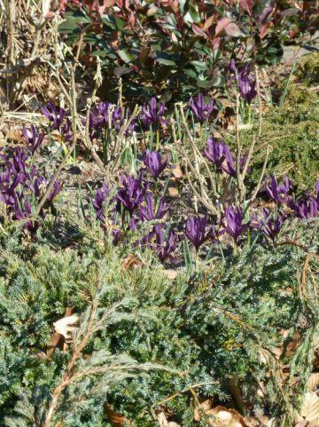 Iris reticulata  - Dwergiris