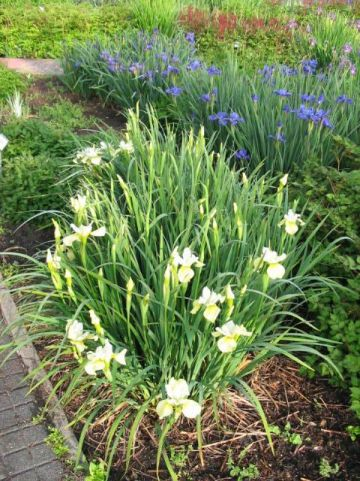 Iris sibirica 'Butter and Sugar' - Iris