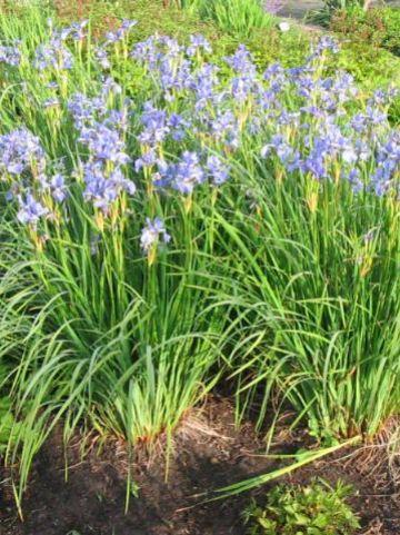 Iris sibirica 'Silver Edge' - Baardloze iris