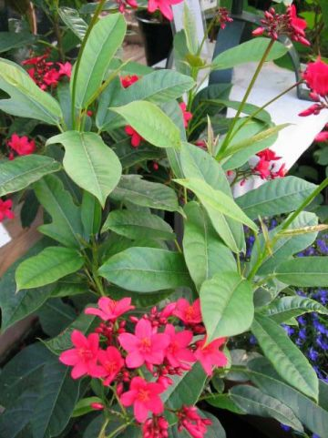 Jatropha integerrima  -
