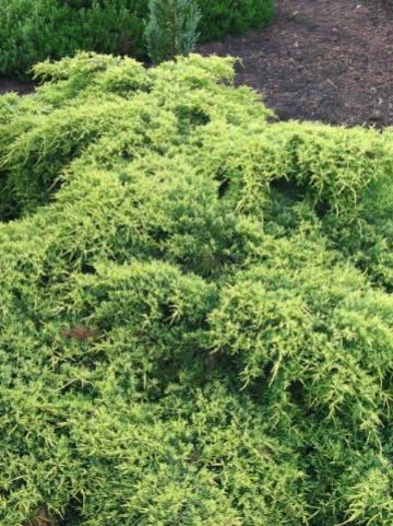 Juniperus × pfitzeriana 'Old Gold' - Jeneverbes