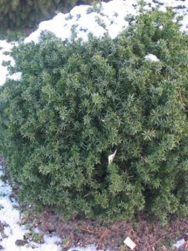 Juniperus chinensis 'Echiniformis' - Dwergjeneverbes