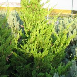 Juniperus chinensis 'Kaizuka' - Jeneverbes