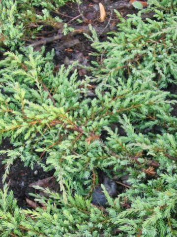 Juniperus communis 'Hornibrookii'